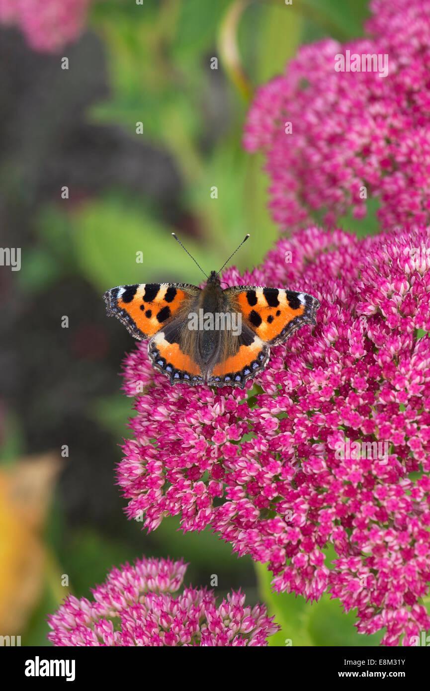 Small tortoiseshell butterfly on sedum spectabile autumn Joy flowers - Stock Image