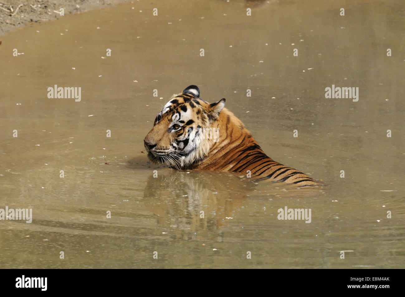 Tiger - Panthera tigris - Stock Image