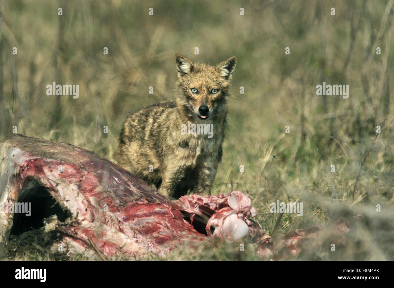 Golden Jackal - Canis aureus Stock Photo