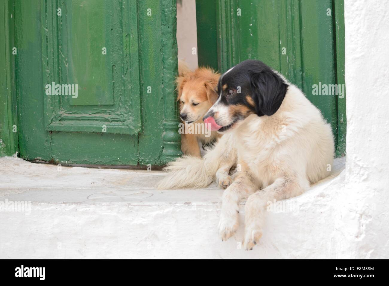 Curious Dogs looking around doorway - Stock Image