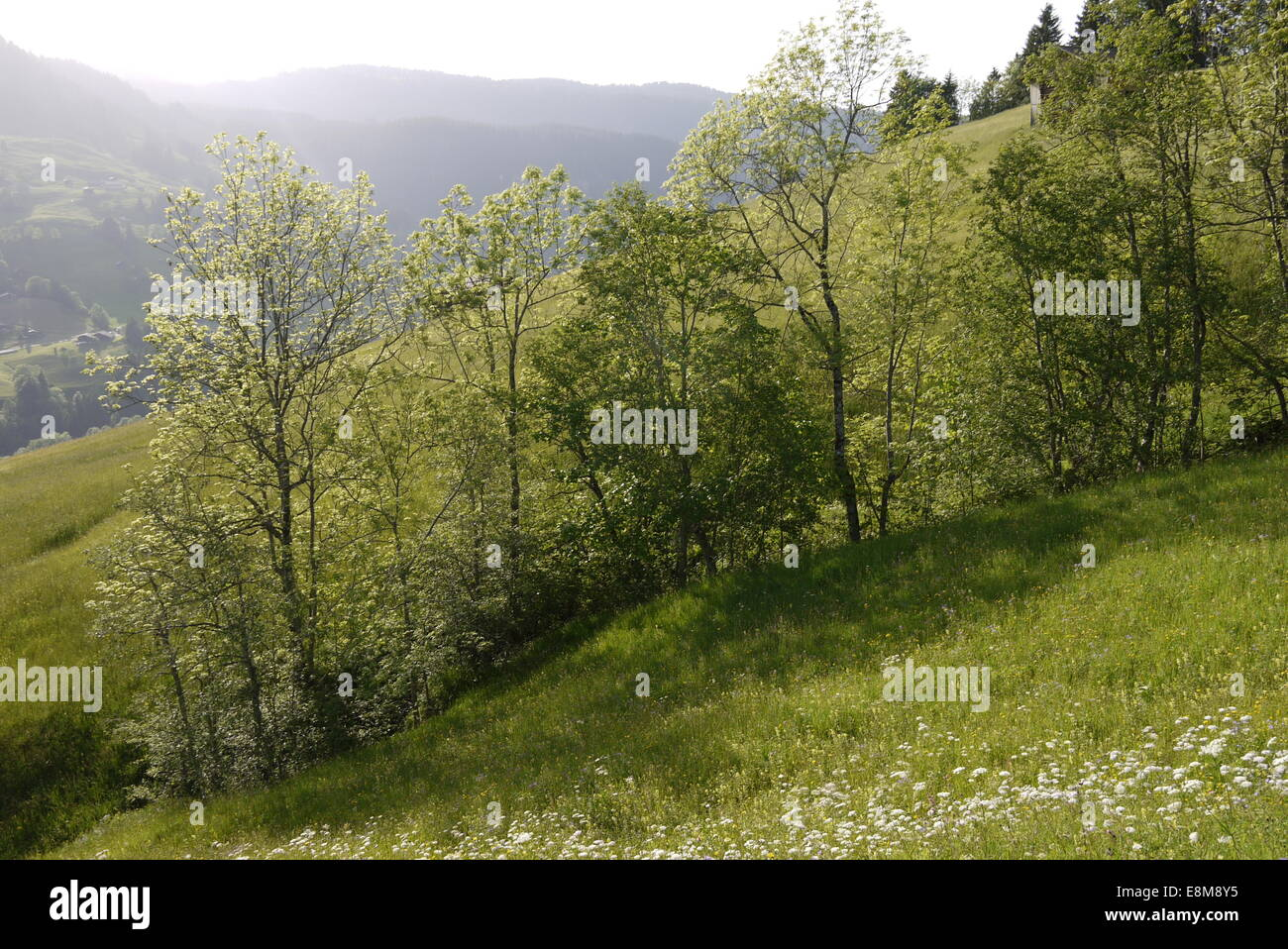 Hayfield in  Bernese Highlands mountains in beautiful evening light in Hiking area above Interlaken Habkern Stock Photo