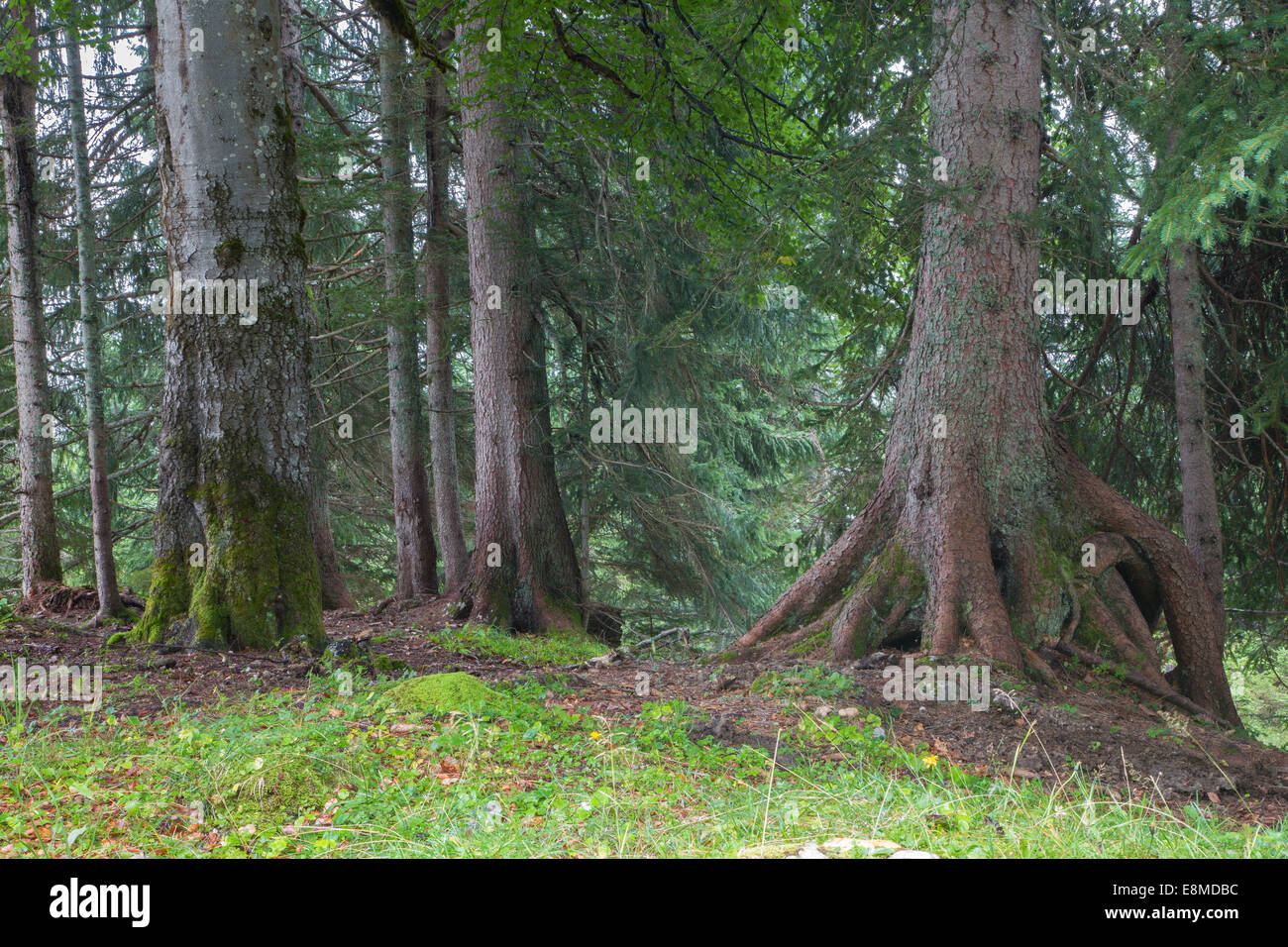 alps spruce forest - Stock Image