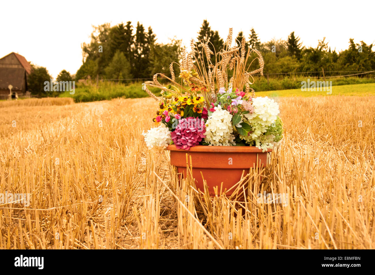 thanksgiving flowers on cornfield - Stock Image