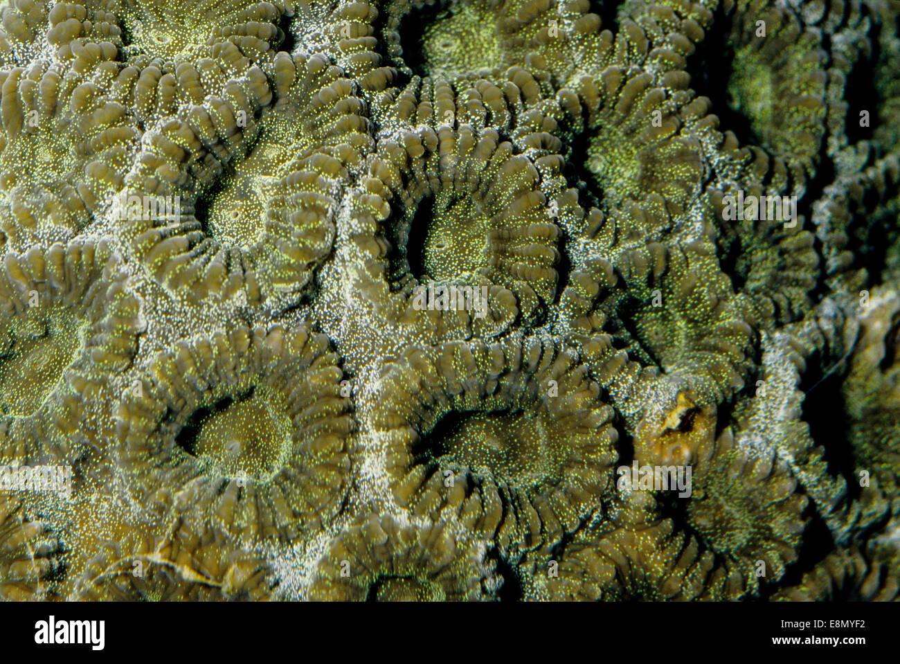 Favia sp., Faviidae Scleractianiae, Indo-pacific Ocean - Stock Image