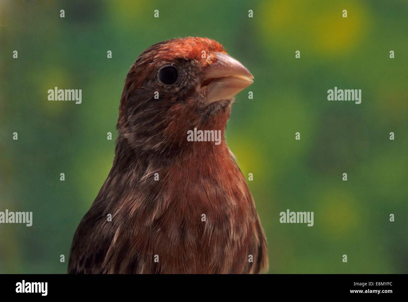 Island canary, Serinus canaria, Fringillidae, Canarie Islands - Stock Image