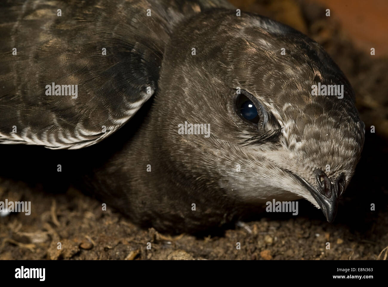 Common Swift Apus apus, Apodidae, Lazio, Italy - Stock Image