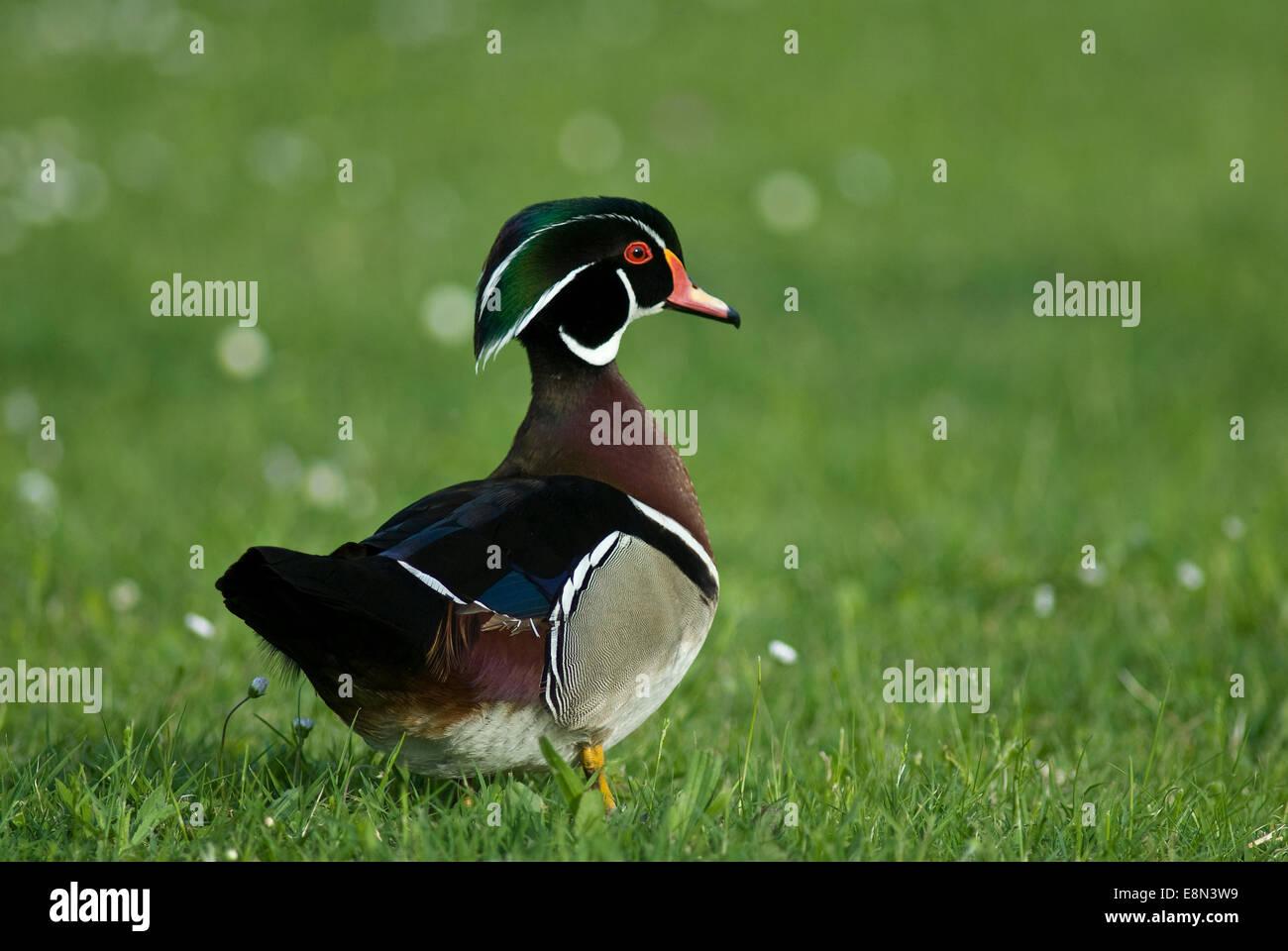 Mandarin duck Aix galericulata, Anatidae, East Asia - Stock Image