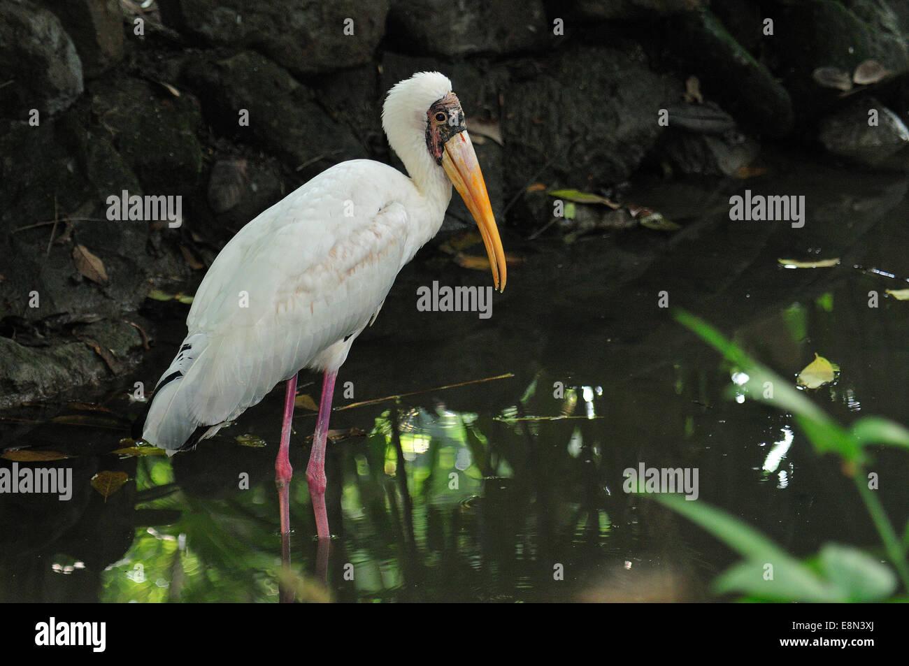 Yellow-billed stork Mycteria ibis, Ciconiidae, Africa Stock Photo