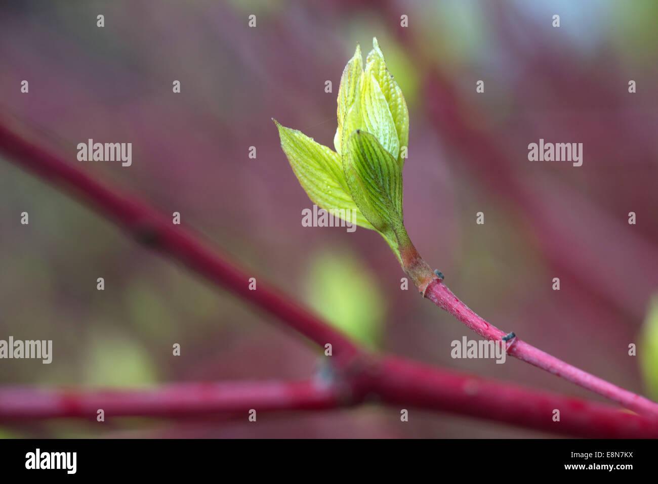 Red twig Dogwood bush growing in Brighton. - Stock Image