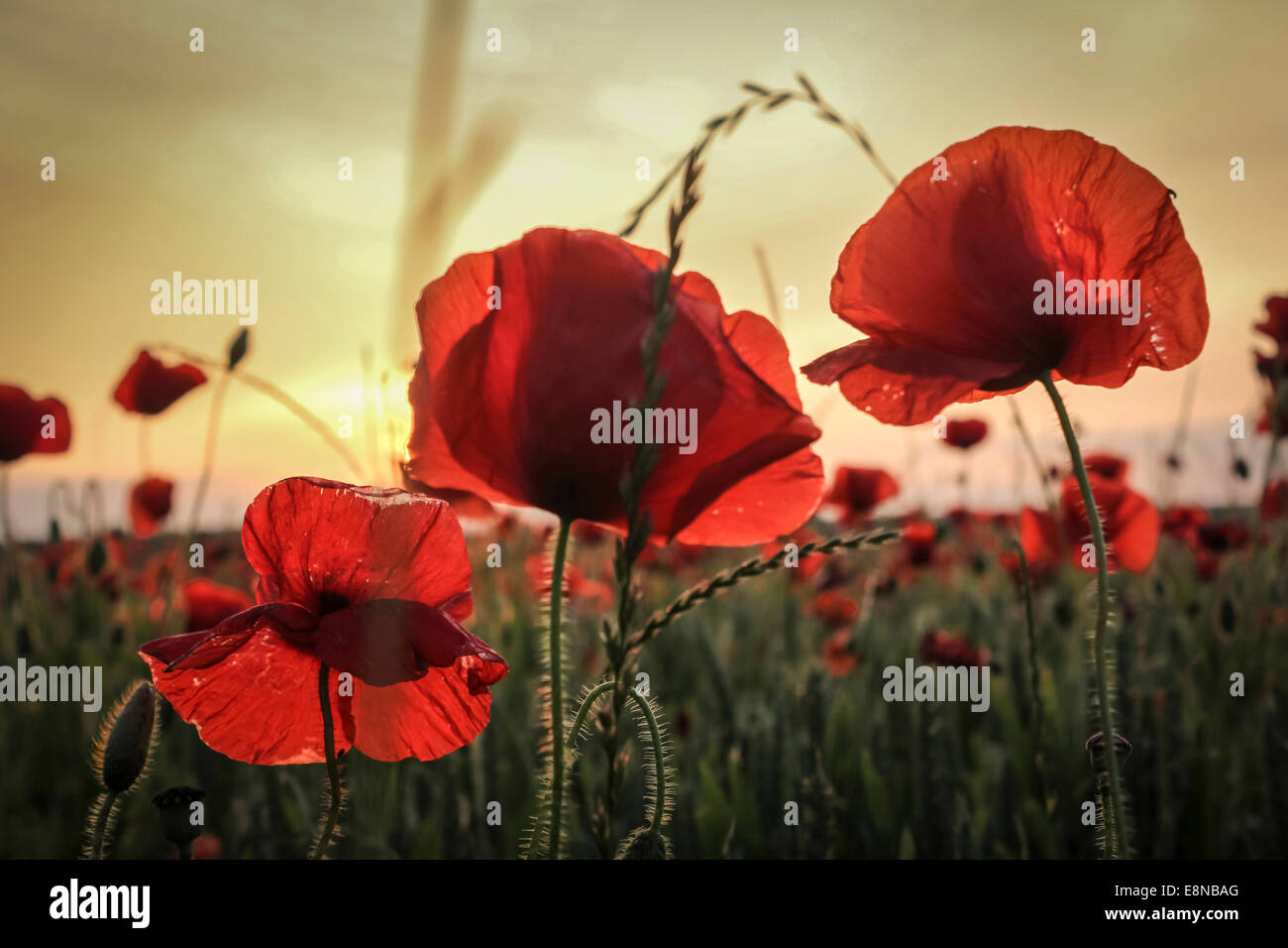 Close up of three poppies, looking over a poppy field in a summer meadow as the sun sets in the distance Stock Photo