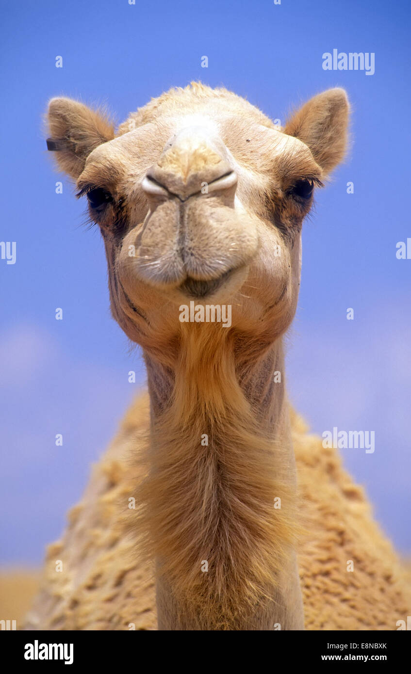 Camel head, Front view - Stock Image