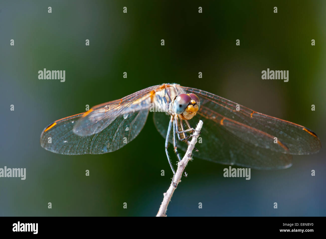 Dragonfly close-up, Front view - Stock Image
