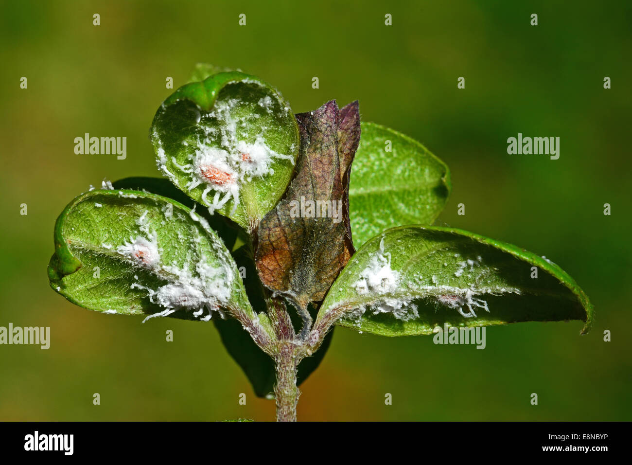 Sap sucking Mealybug, - Stock Image