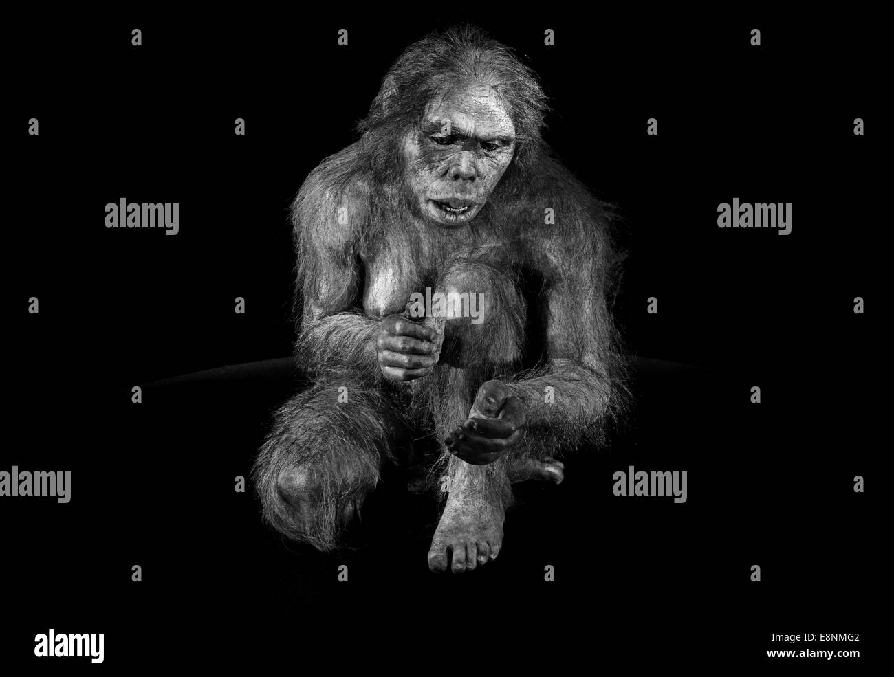 Spain, Burgos: Hominid 'Lucy' (Australopithecus afarensis) in the Museum of Human Evolution in black and - Stock Image