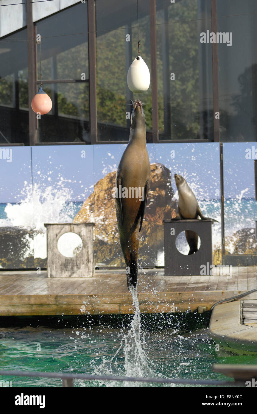 California sea lion Zalophus californianus leaping out of water at ZSL Whipsnade Zoo, Bedfordshire (EDITORIAL USE - Stock Image
