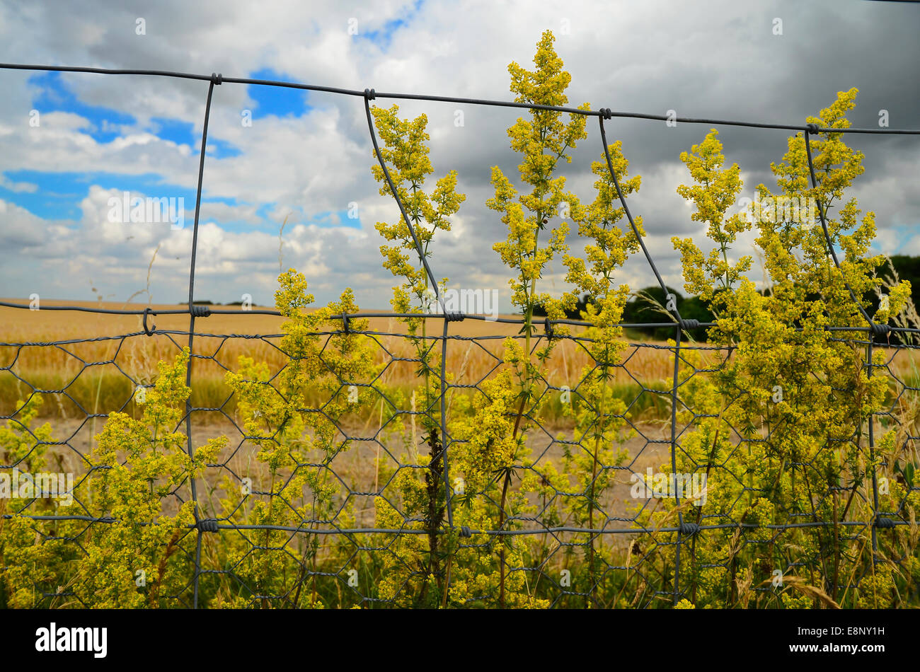 Wire fence in rural landscape with wildflowers - Stock Image