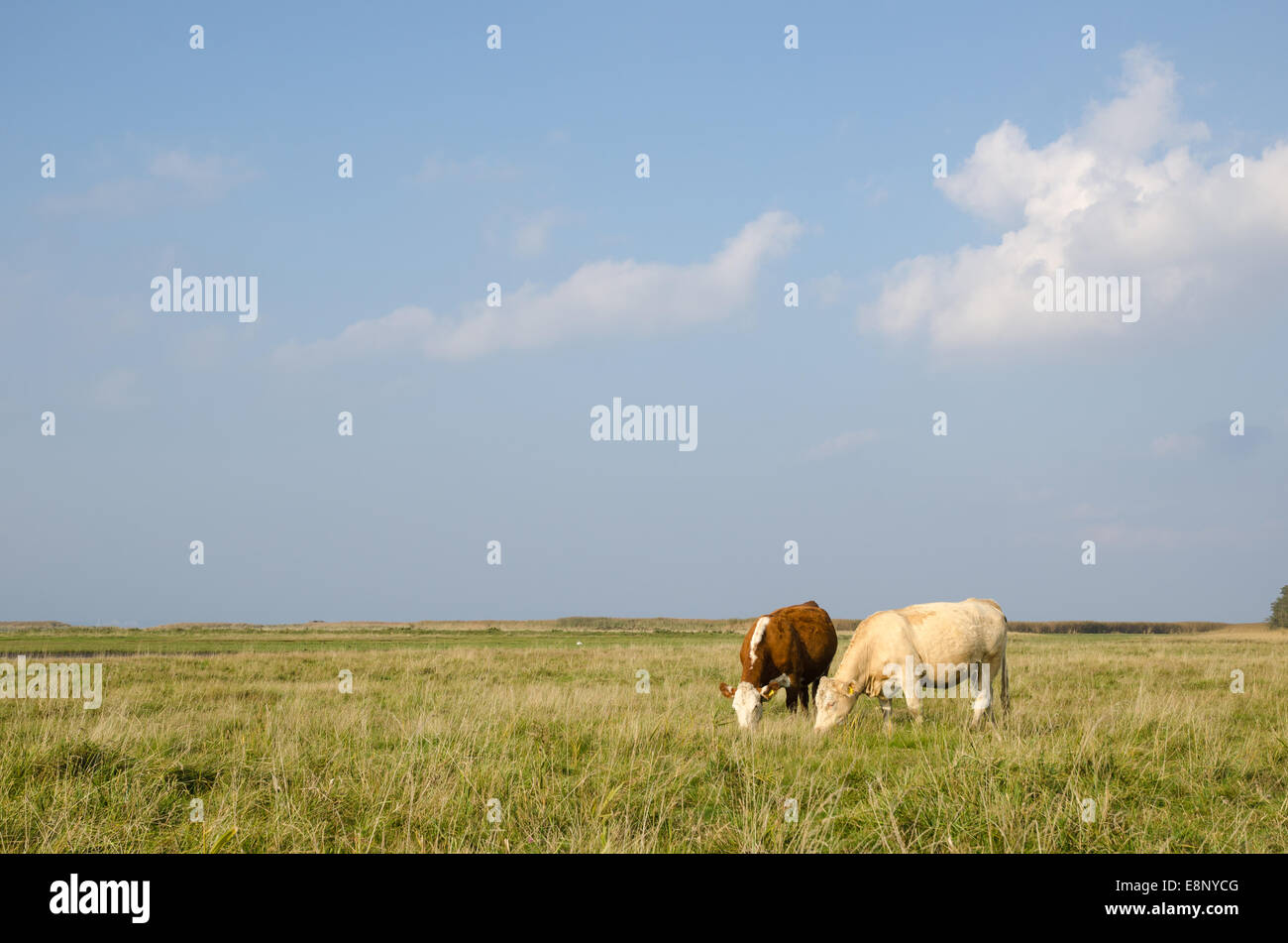 Idyllic view at a pastureland with grazing cows at the Swedish island Oland - Stock Image