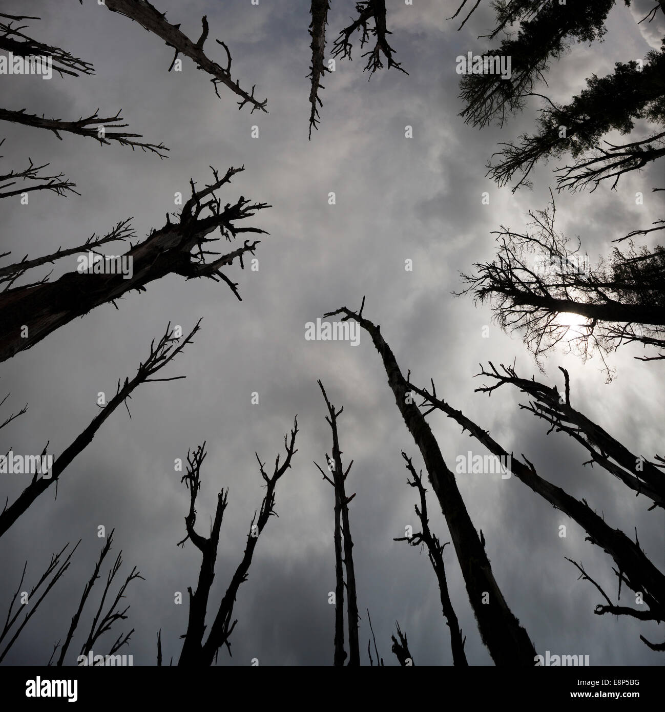 Dark Scary Dead Trees Stormy Skies Haunted Woods low angle view looking up silhouette evil black branches looming - Stock Image