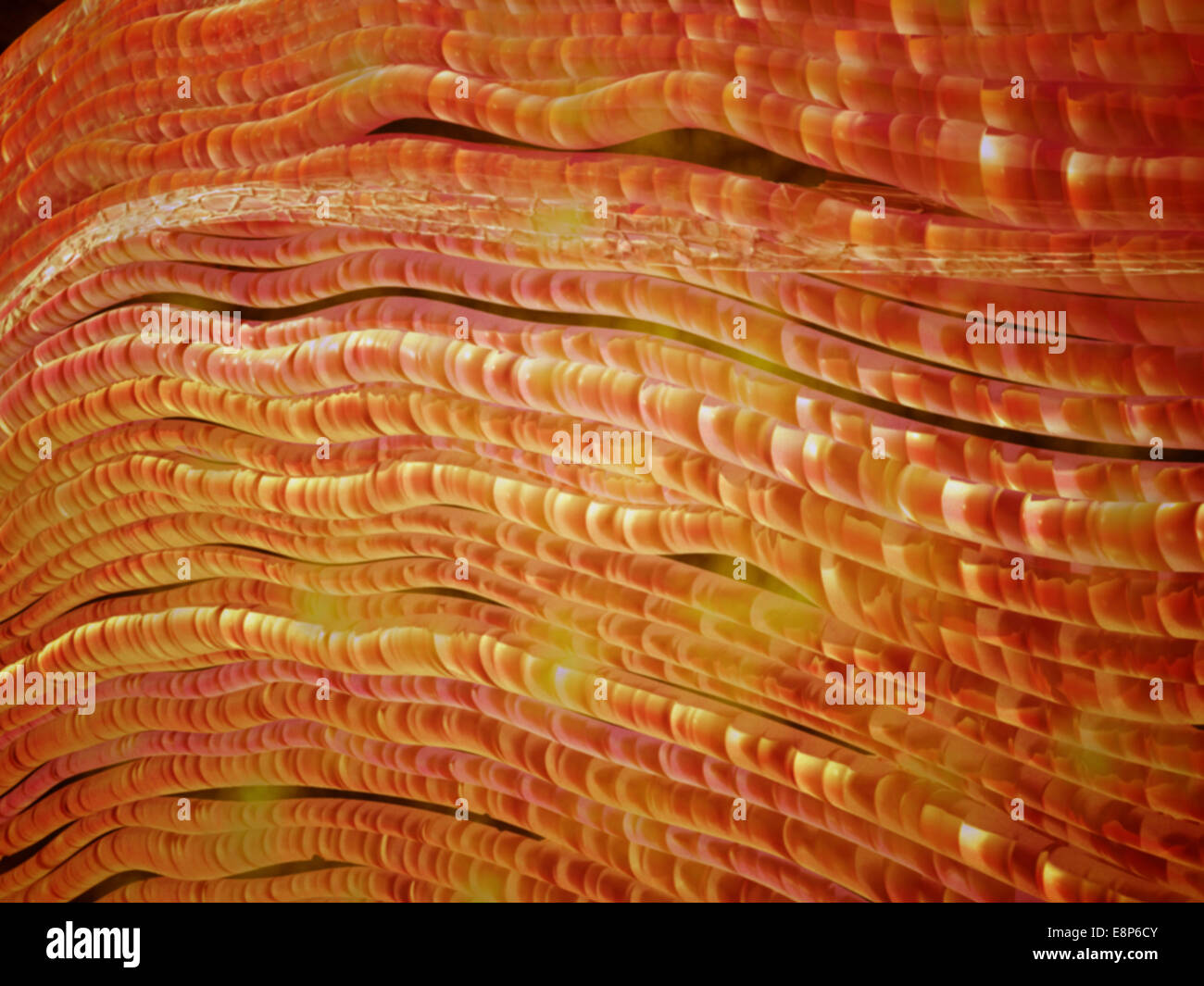 Microscopic view of nerve fibers. A nerve fiber is a threadlike extension of a nerve cell in the nervous system. - Stock Image