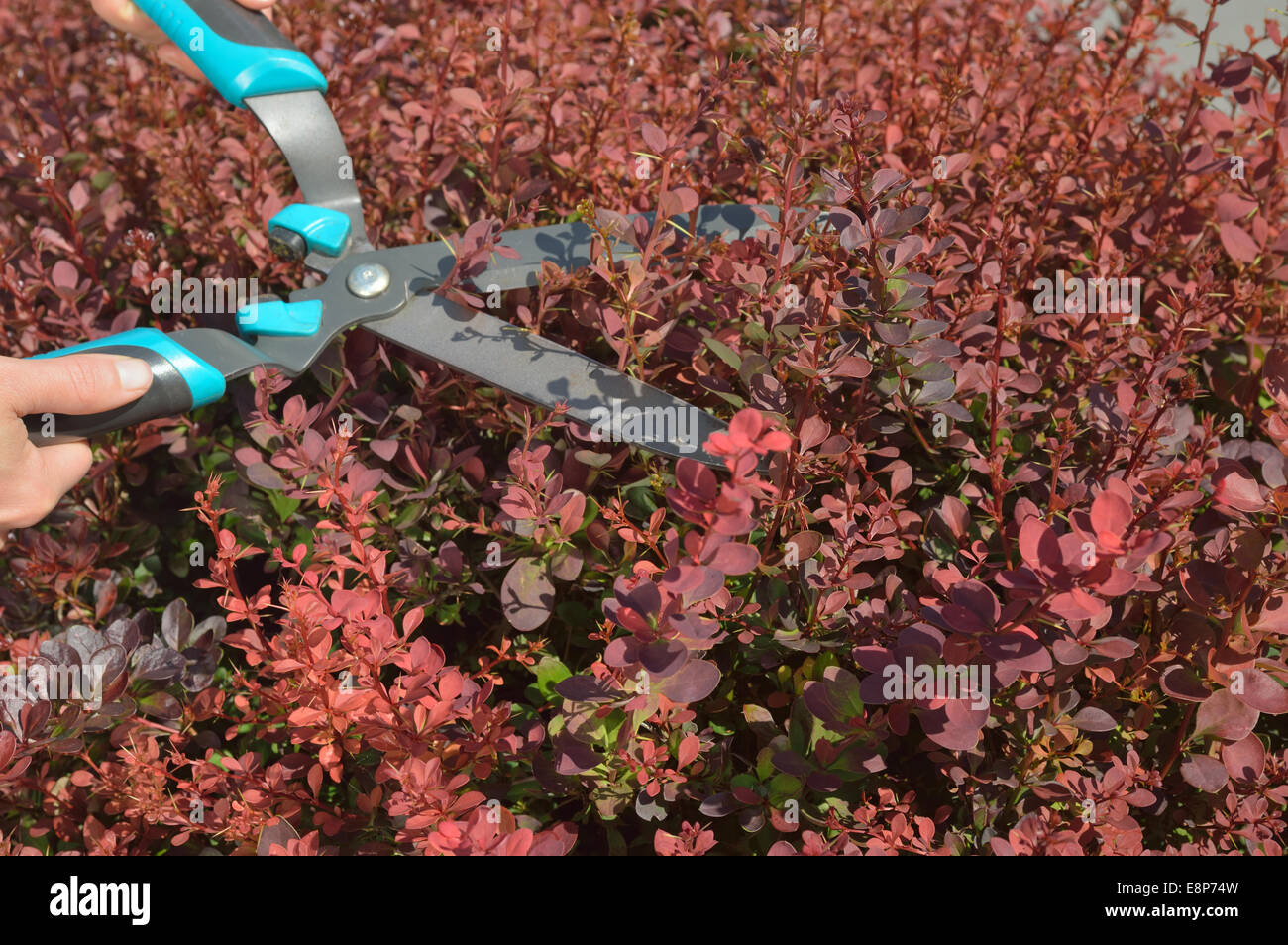 Manual trimming shrubbery of red Berberis by hedge clippers or secateurs. - Stock Image