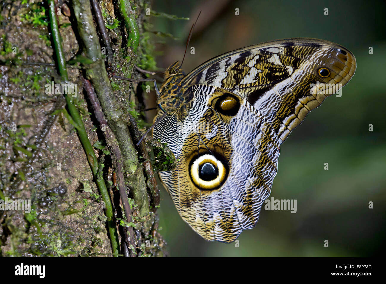 Owl butterfly (Caligo eurilochus), Brush-footed butterfly family (Nymphalidae), Tambopata National Reserve, Madre - Stock Image