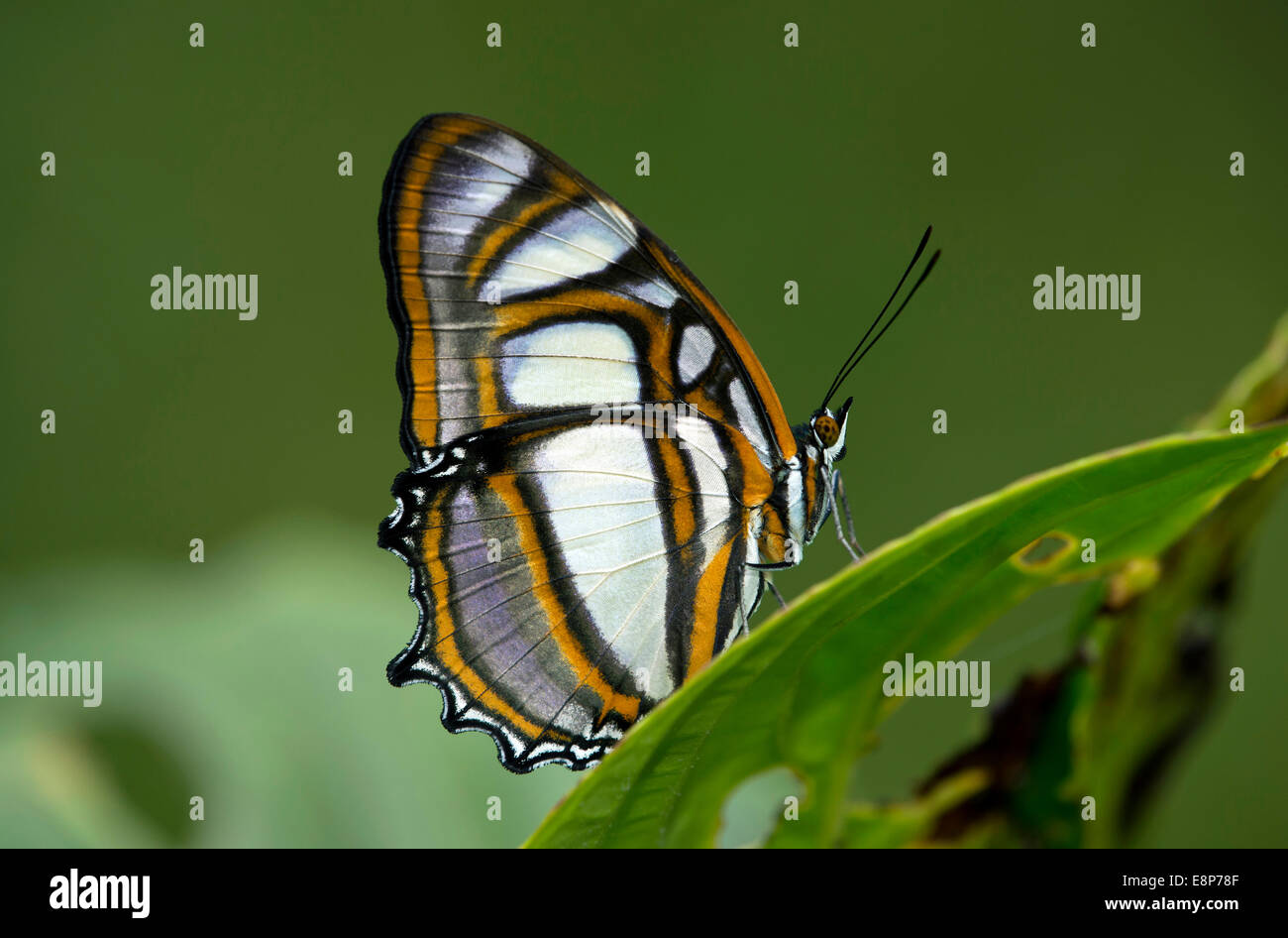 Tropical butterfly Metamorpha elissa, Brush-footed family (Nymphalidae), Tambopata National Reserve, Madre de Dios, - Stock Image