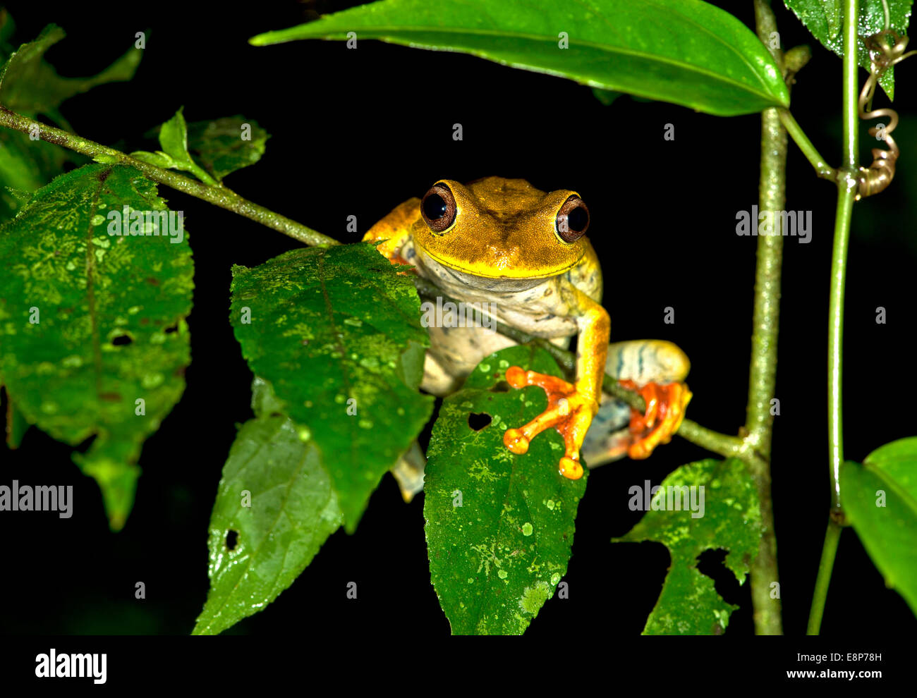 Map tree frog (Hypsiboas geographicus), in habitat, Hylidae family, Tambopata Nature Reserve, Madre de Dios region, - Stock Image