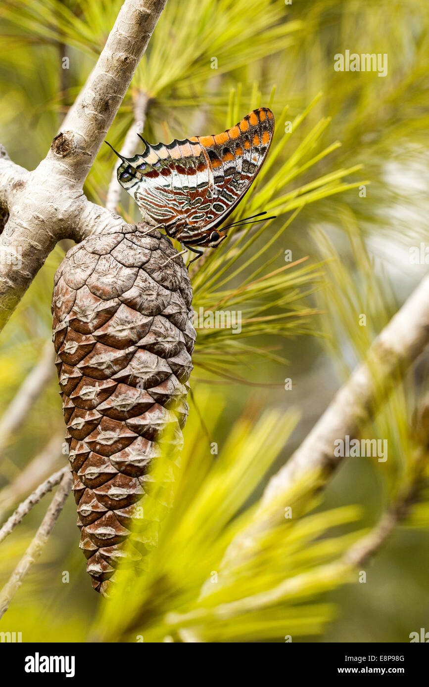 Charaxes jasius, the Two-tailed Pasha or Foxy Emperor, is a butterfly in the family Nymphalidae. It is the only - Stock Image