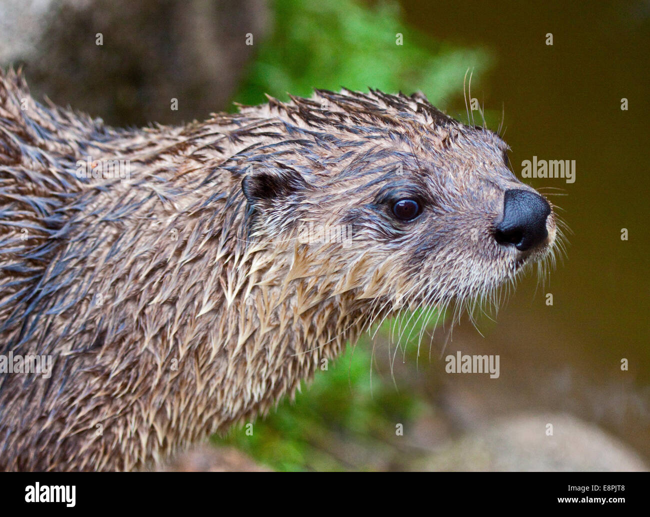 North American River Otter (lontra canadensis) - Stock Image