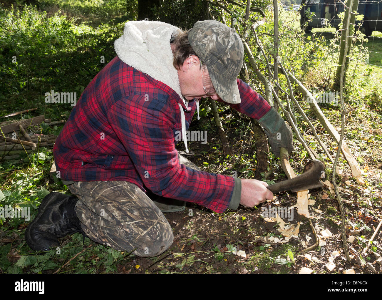 Hedge Layer Carl Forster Splitting Stems (Pleachers) to Lay into the Hedge Using a Bill Hook, Teesdale County Durham - Stock Image