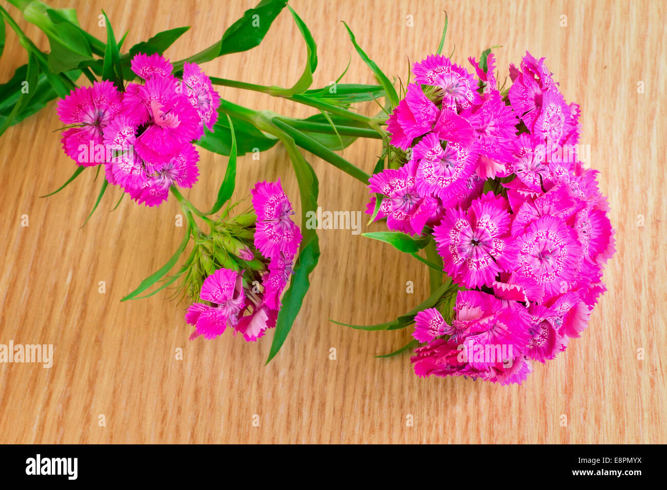 Beautiful Bright Pink Flowers Of A Carnation Are Presented By A
