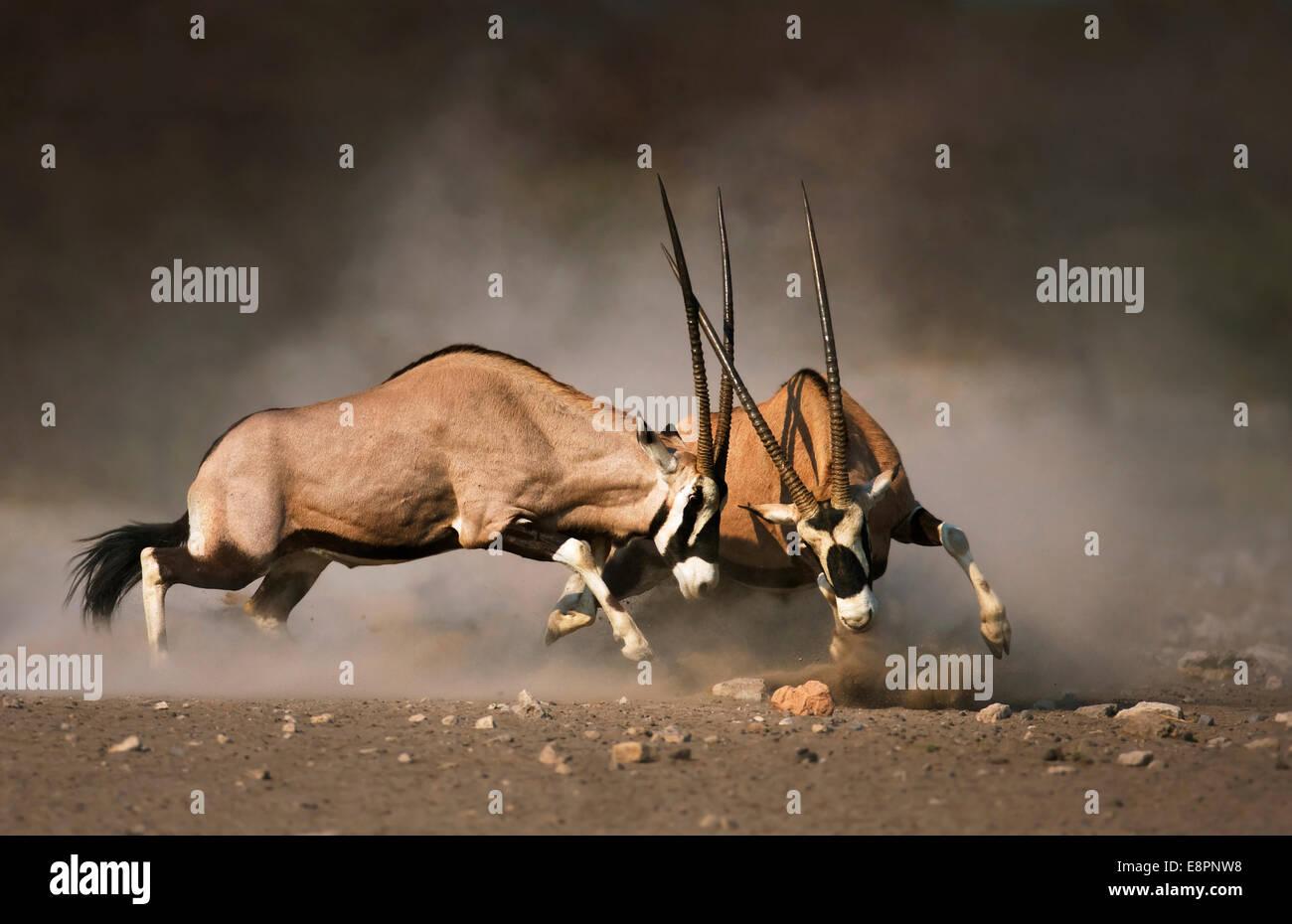 Intense fight between two Gemsbok bulls on dusty desert plains of Etosha - Stock Image
