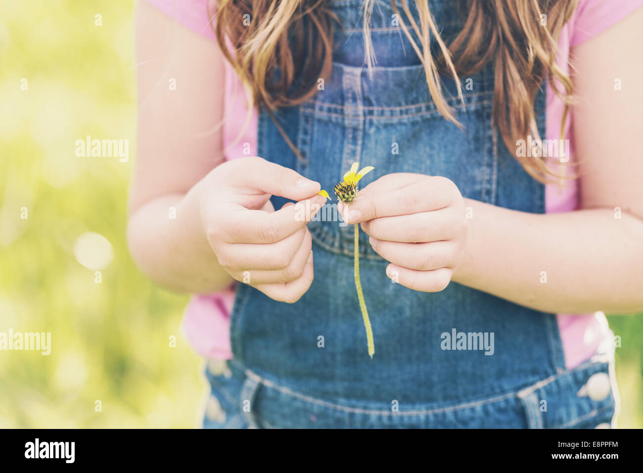 tween girl with daisy, making a wish, just her hands in view - Stock Image