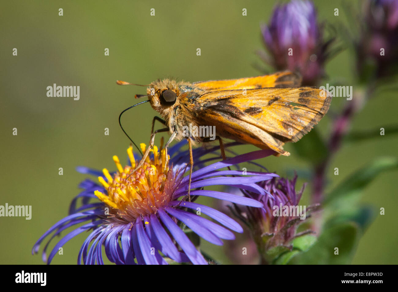 Fiery Skipper feeding on nectar. - Stock Image