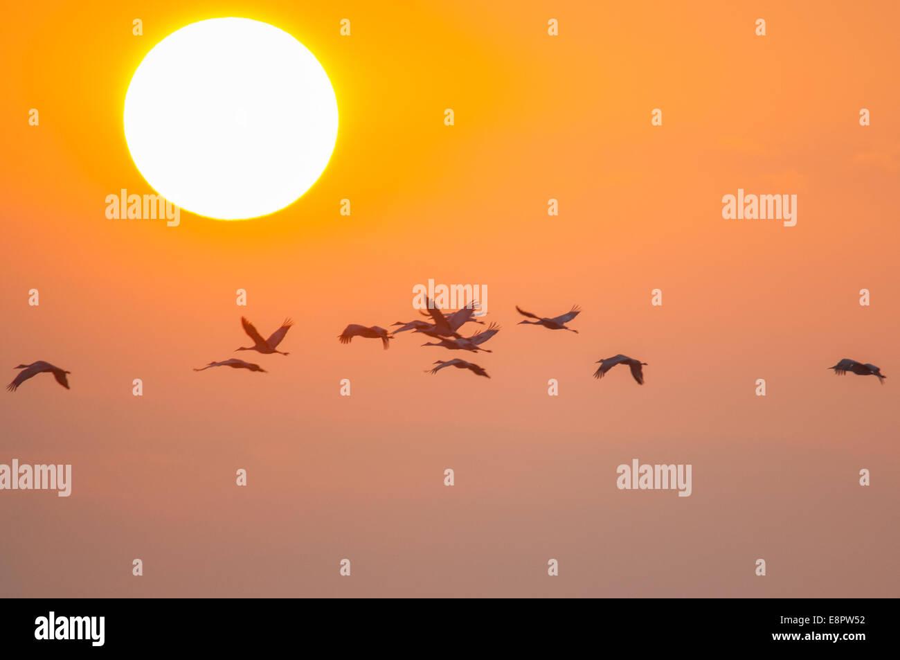 Sandhill Cranes flying at sunrise. - Stock Image