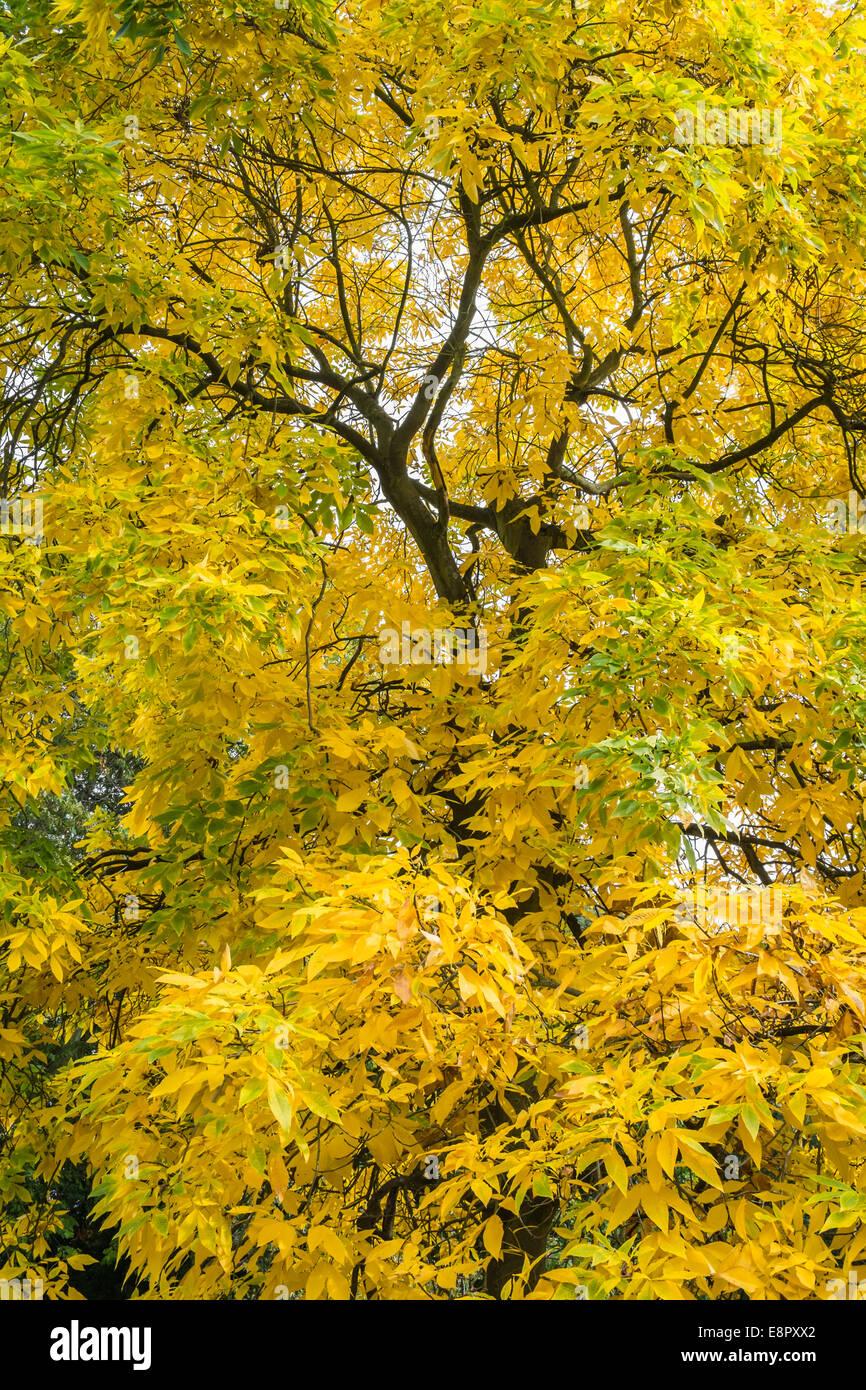 Shagbark Hickory (Carya ovata) tree, autumn, Royal Botanic Gardens, Kew - Stock Image