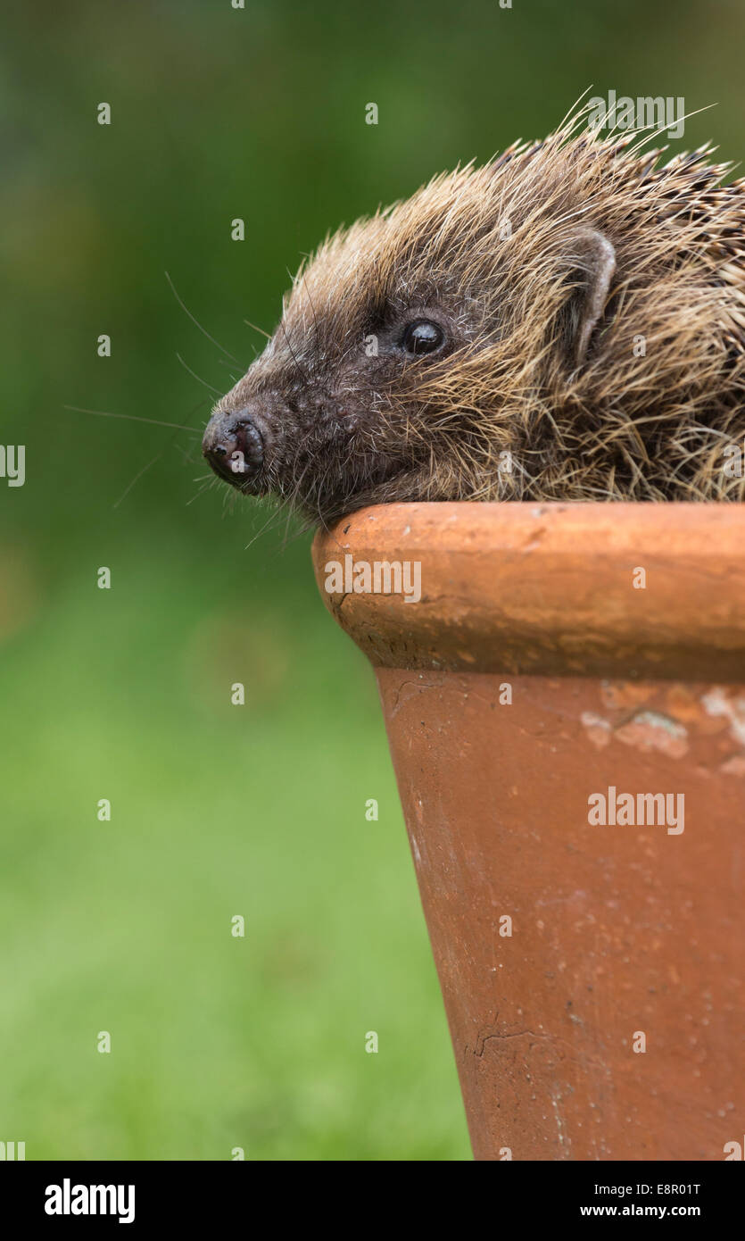 European hedgehog Erinaceus europaeus (captive), adult, peering out of flowerpot, Knowle, West Midlands, UK in April. - Stock Image