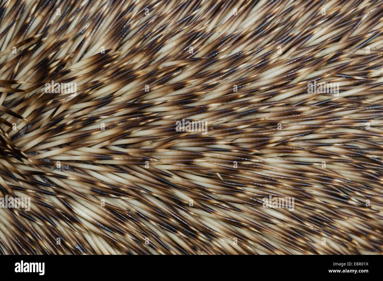 European hedgehog Erinaceus europaeus (captive), adult, close-up of spines, Knowle, West Midlands, UK in April. - Stock Image