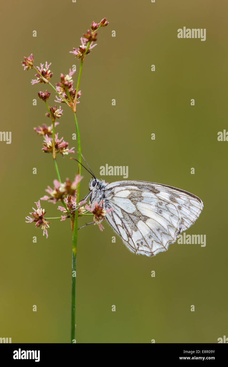 Marbled white Melanargia galathea, imago, roosting on Sharp-flowered Rush, Alners Gorse, Dorset, UK in July. - Stock Image