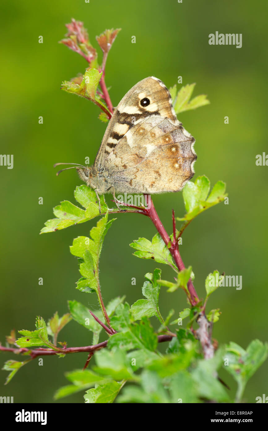 Speckled Wood Pararge aegeria, imago, roosting on hawthorn, Bentley Wood, Hampshire, UK in May. - Stock Image