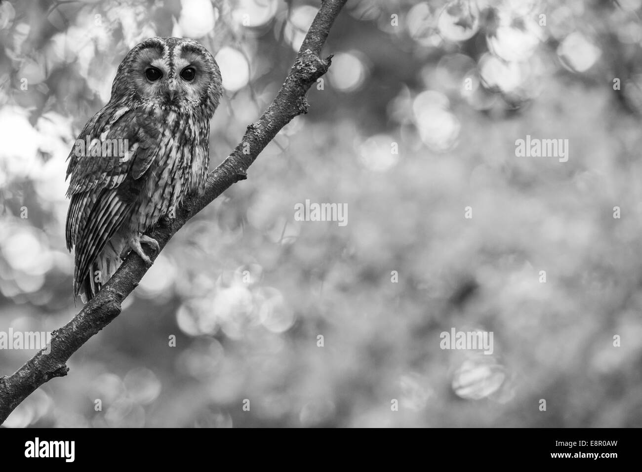 Tawny owl Strix aluco (captive), adult male, perched in woodland tree canopy, Hawk Conservancy Trust, Hampshire, - Stock Image