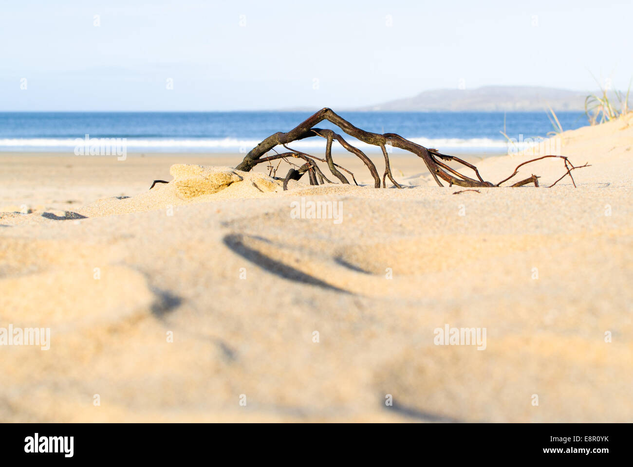 Dweller on the threshold - a root clings on to terra firma at the edge of the dunes on Killahoey Beach, Dunfanaghy, - Stock Image