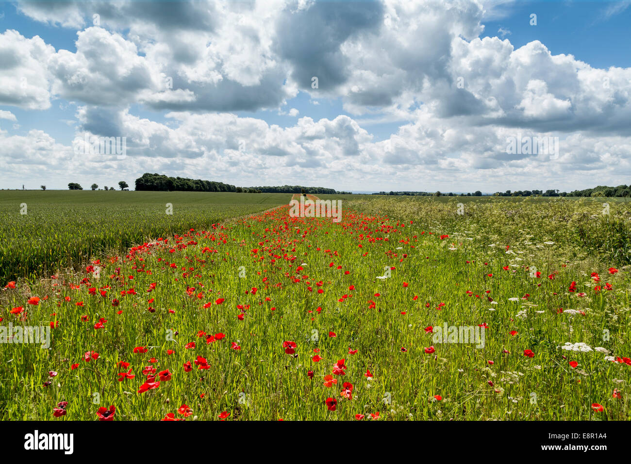 Beautiful view across  a field in the Cotswolds of  a Poppies near the cotswold town of Cirencester in England, - Stock Image