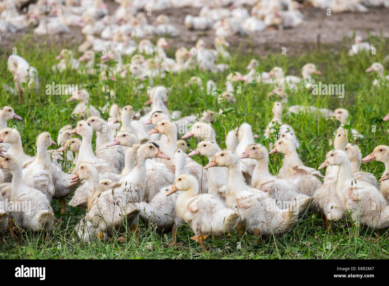Ducks being farmed for Foie Gras and confit. Gers department, Midi-Pyrénées France - Stock Image