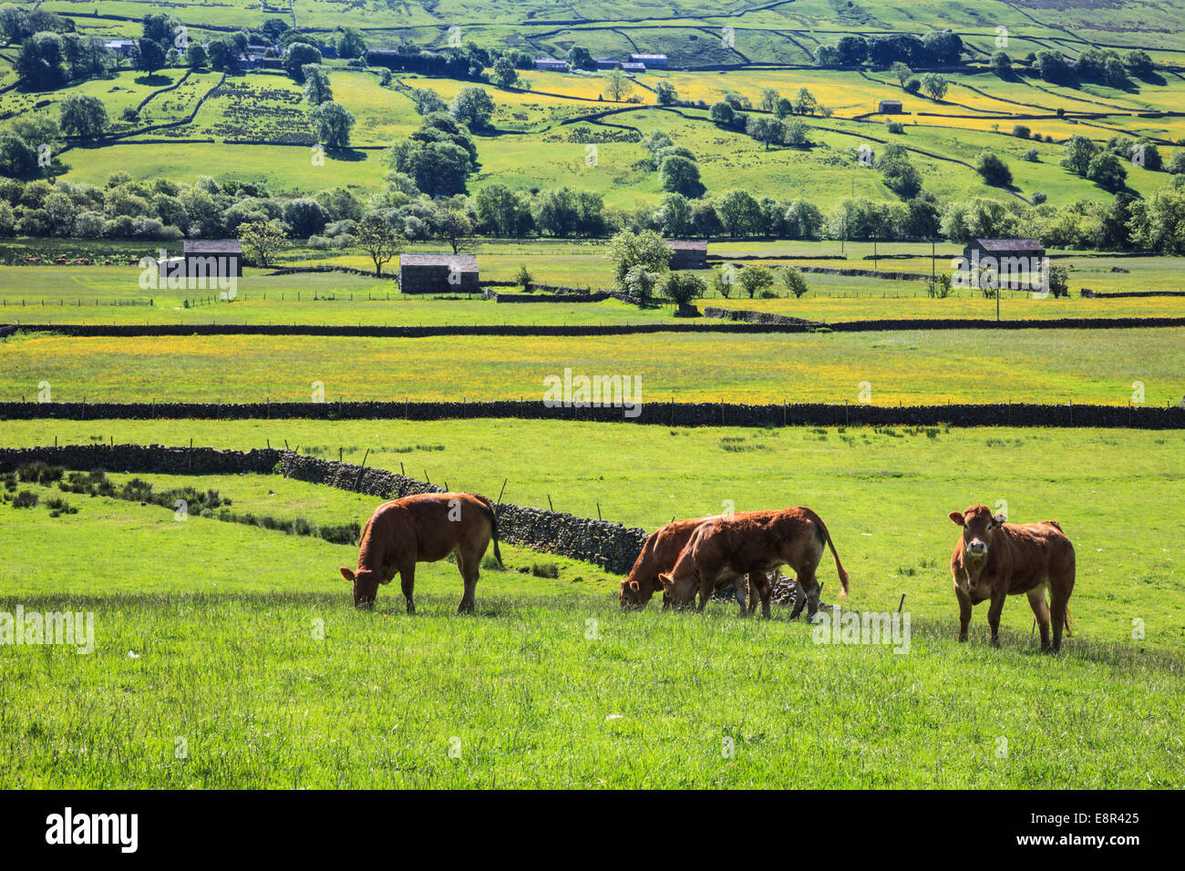 Cows in Raydale in the Yorkshire Dales National Park. - Stock Image