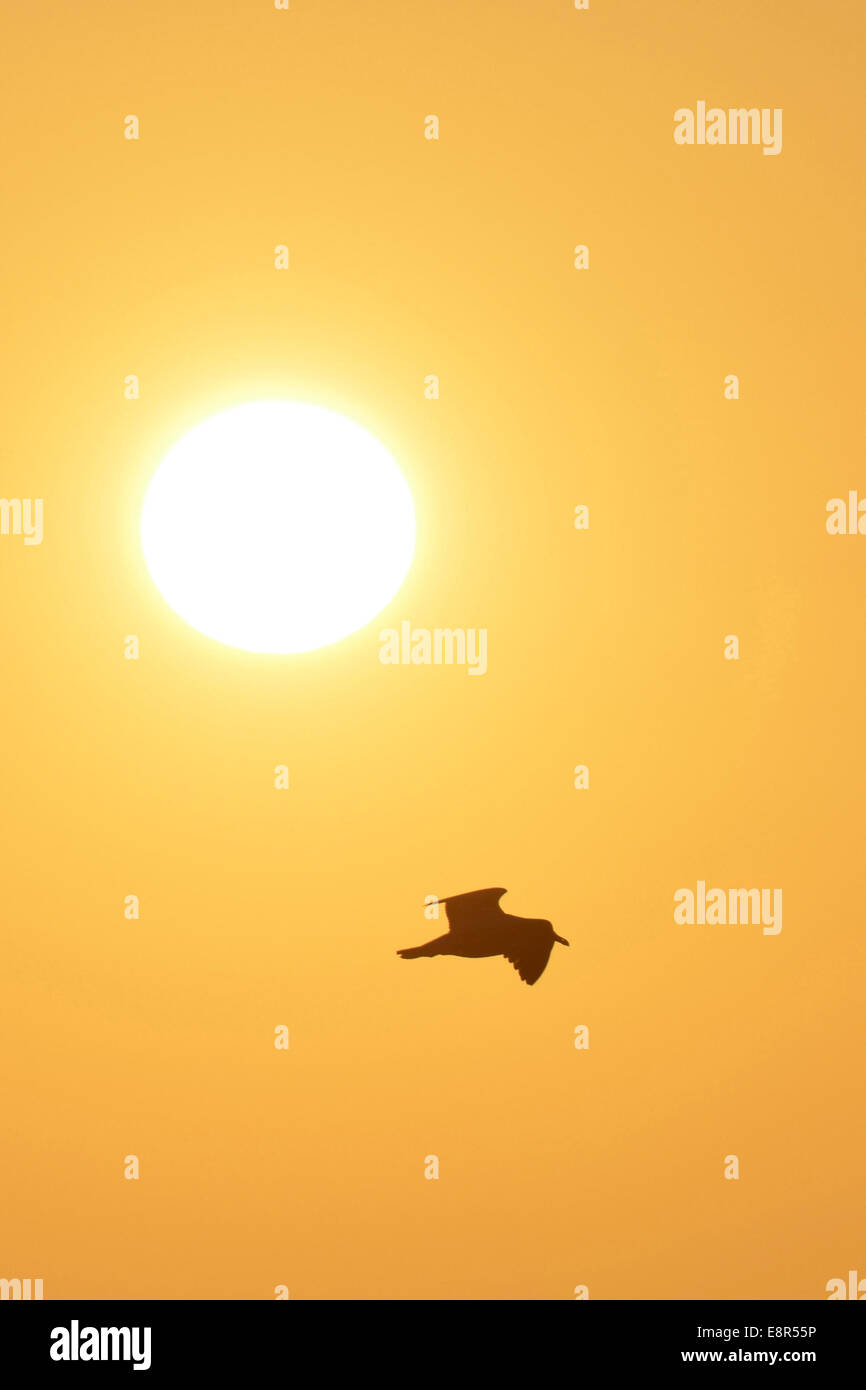 Gliding seagull on summers day - Stock Image