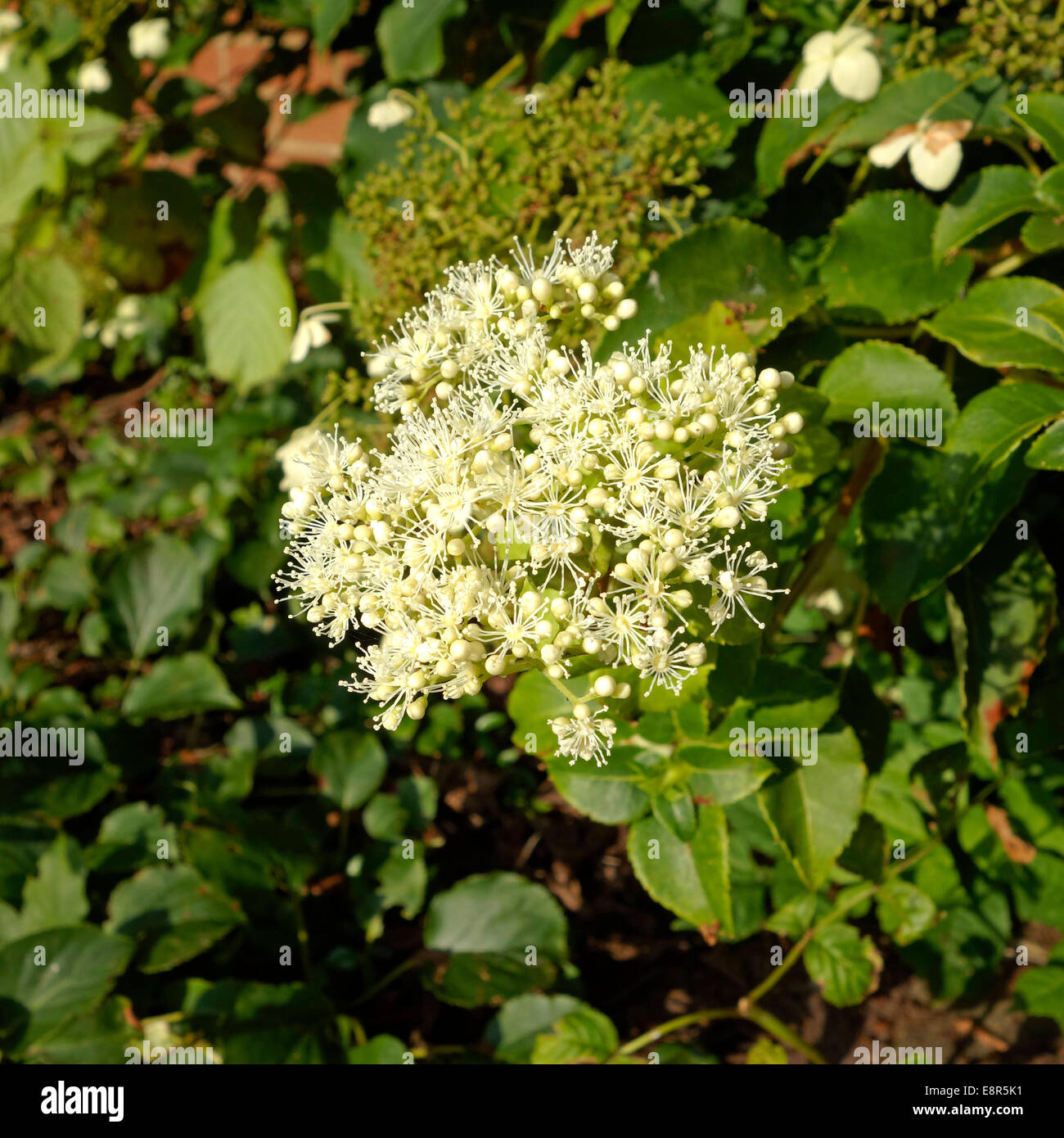 Hydrangea anomala subspecies petiolaris, commonly known as Climbing Hydrangea in Flower - Stock Image