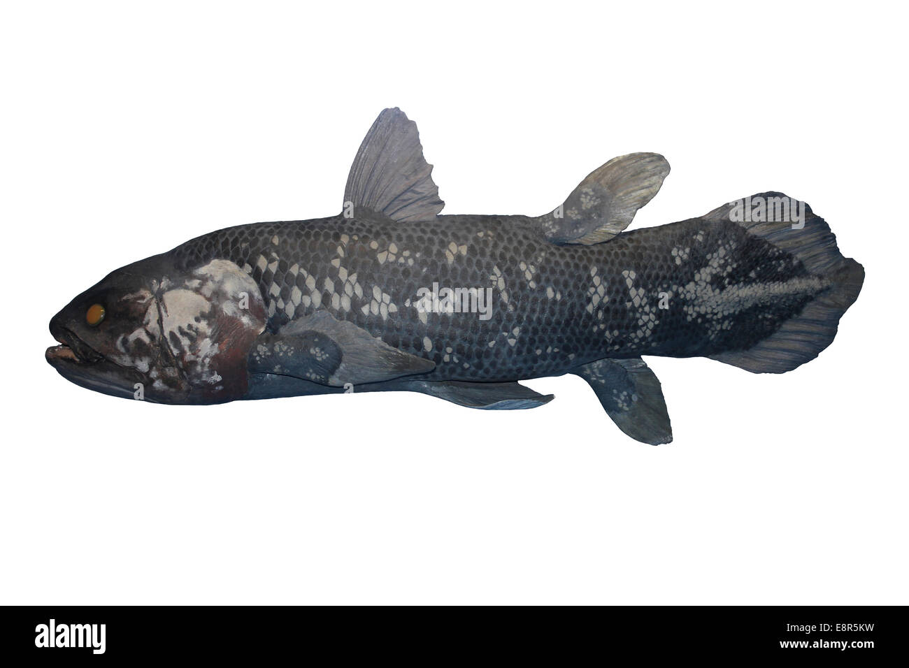 Coelacanth Fish Cut-out - Stock Image