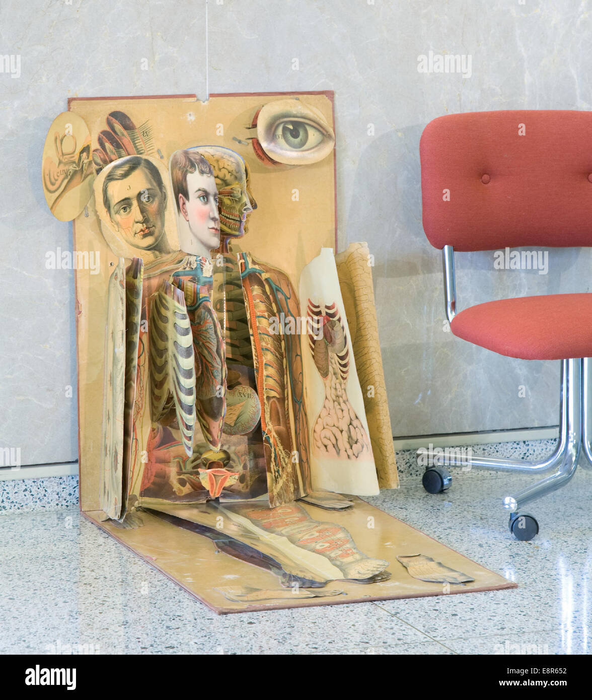 Date: ca. 1886   Image Description: Life-size chromolithographic anatomical chart, consisting of basic image with - Stock Image