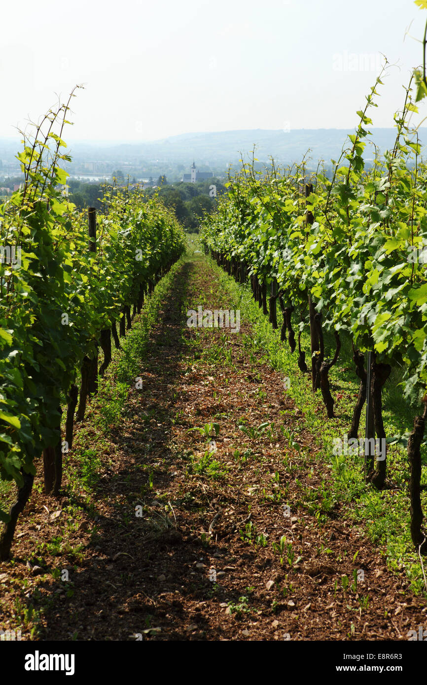 Vines at the Schloss Vollrads wine estate in Oestrich-Winkel, Germany. - Stock Image